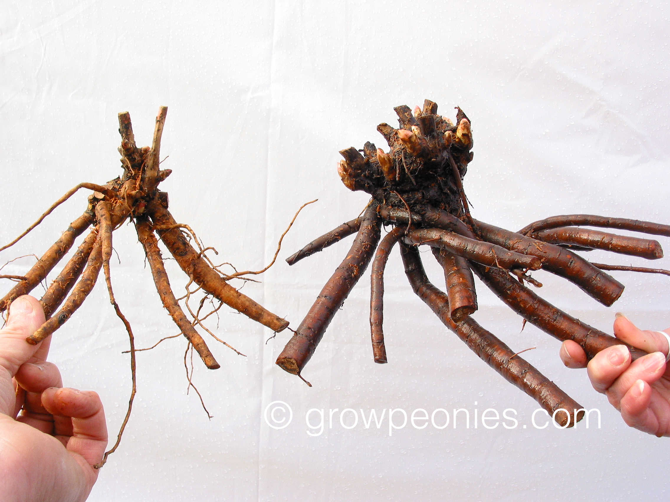 Which root has the greater capacity to produce a bloom the first season?