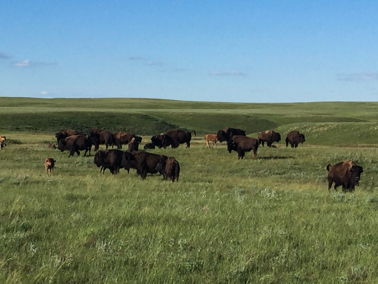 Fort Peck bison