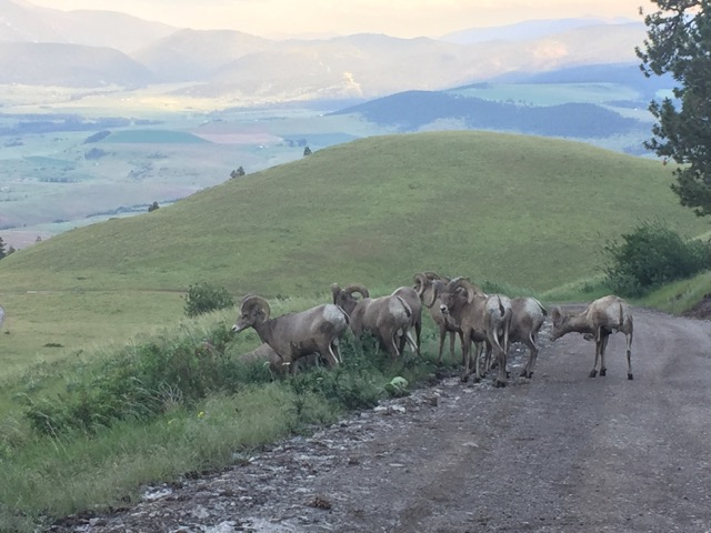 Bighorn sheep in the National Bison Range