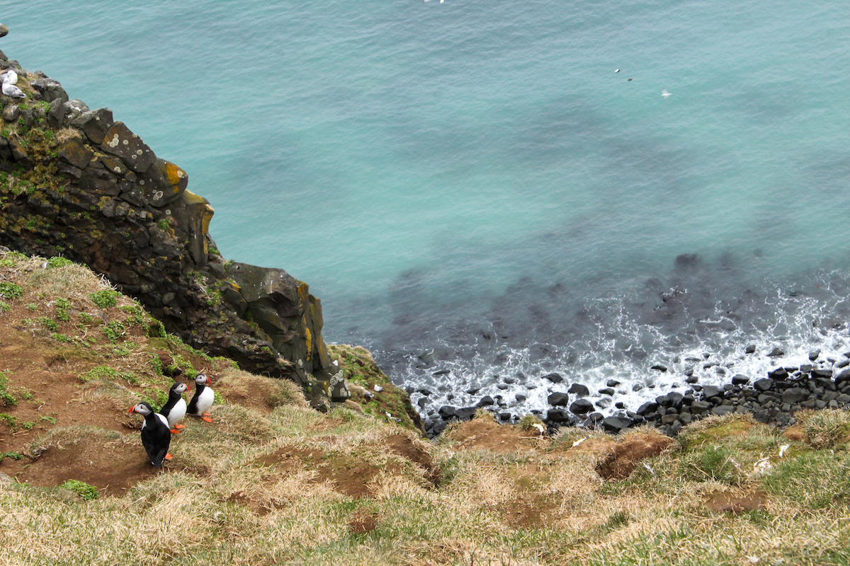 Puffins gather on the cliffs of Grímsey Island.