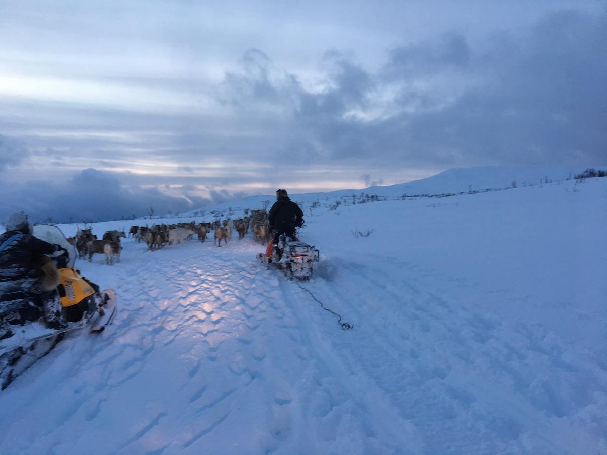 Reindeer herding in winter