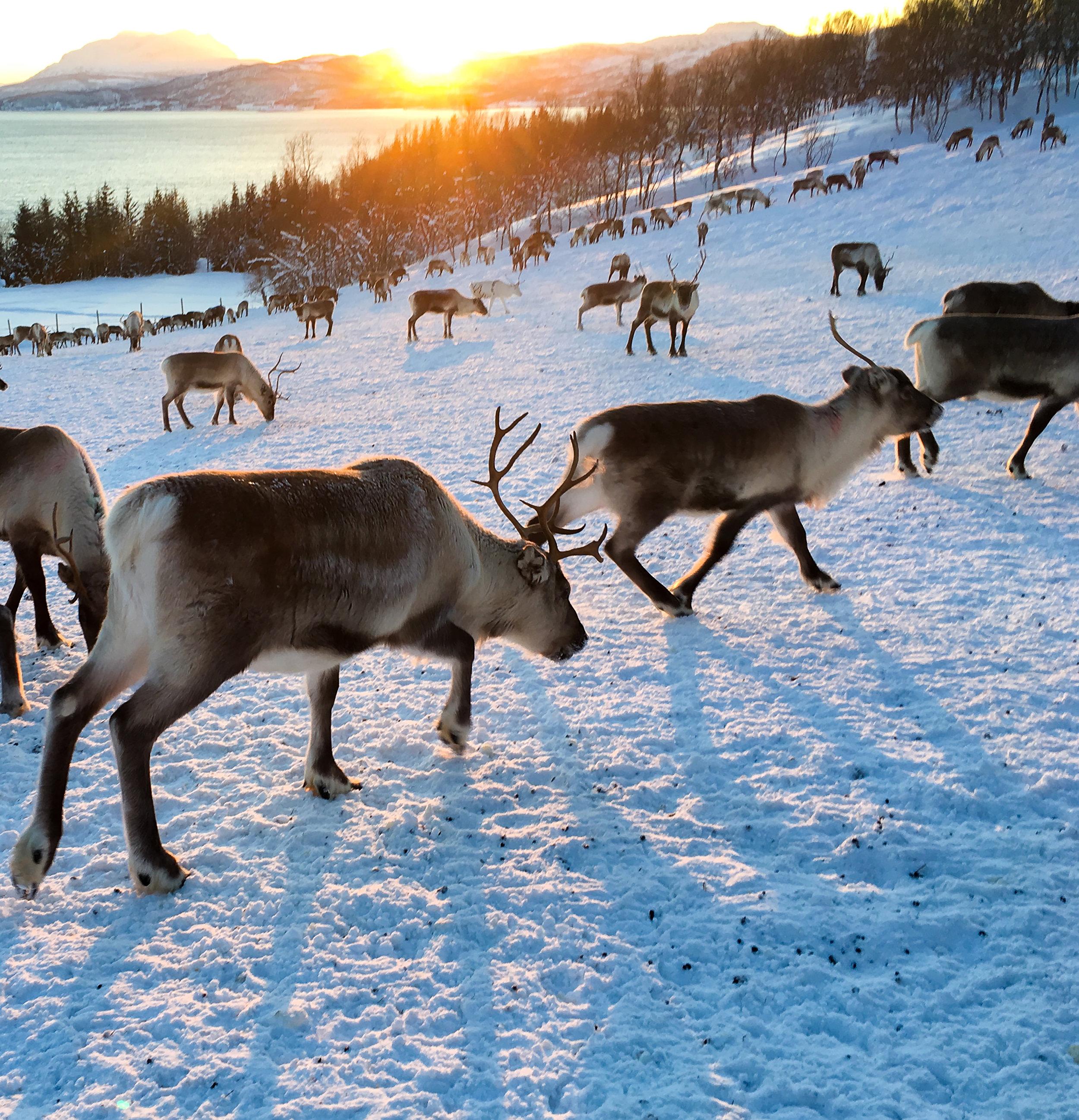 Aleksandersen reindeer herd at sunrise