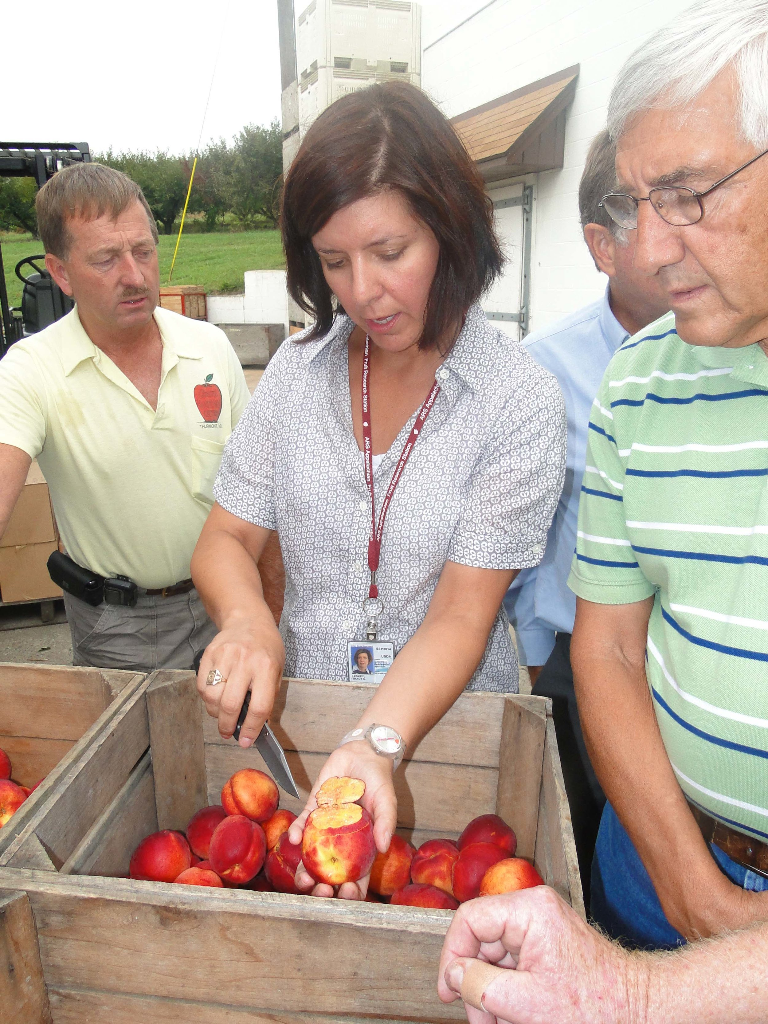 Tray at a farm showing damage to 'Fantasia' nectarines by brown marmorated stink bugs.