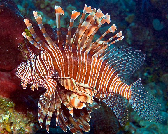 The lionfish is native to the Indo-Pacific, but has no natural predators in the Atlantic and Caribbean so its population has grown. Lionfish are drawn to reefs, shipwrecks, and other structures- like lobster traps- where they can feed, disrupting fragile ocean ecosystems. Their habitat prevents them from being caught by nets. Instead they must be hunted one by one to control their population and protect native aquatic life.