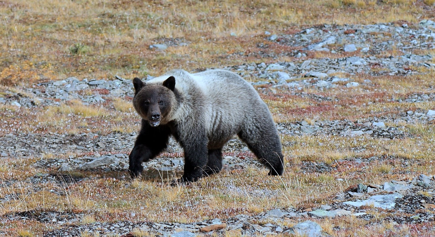 Read about Grizzly bear genetics and management