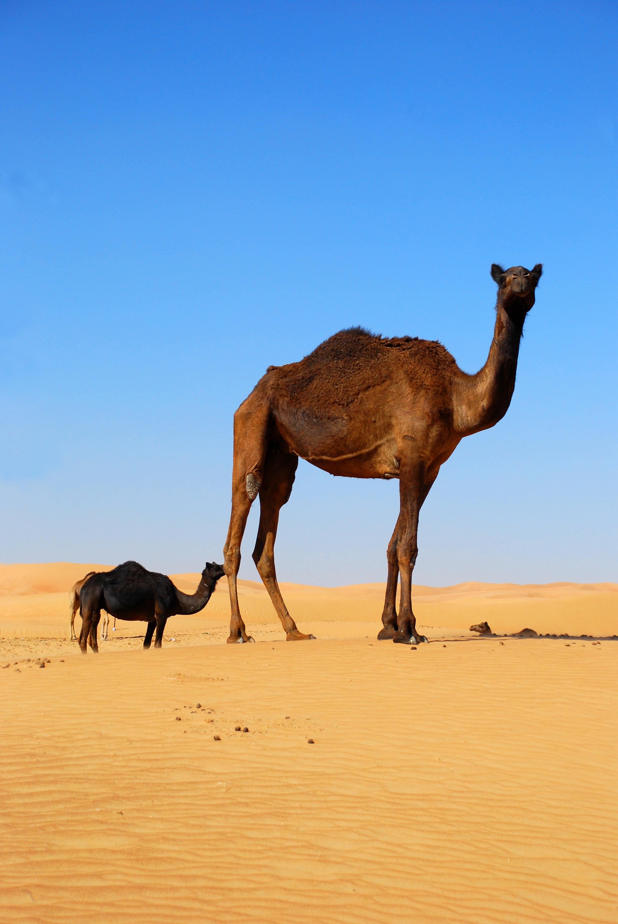 Å svelge kameler, store som små, handler om å innrømme nederlag eller gå på akkord med egne premisser. Foto:  Kevin Botto , CC-BY-ND 2.0.