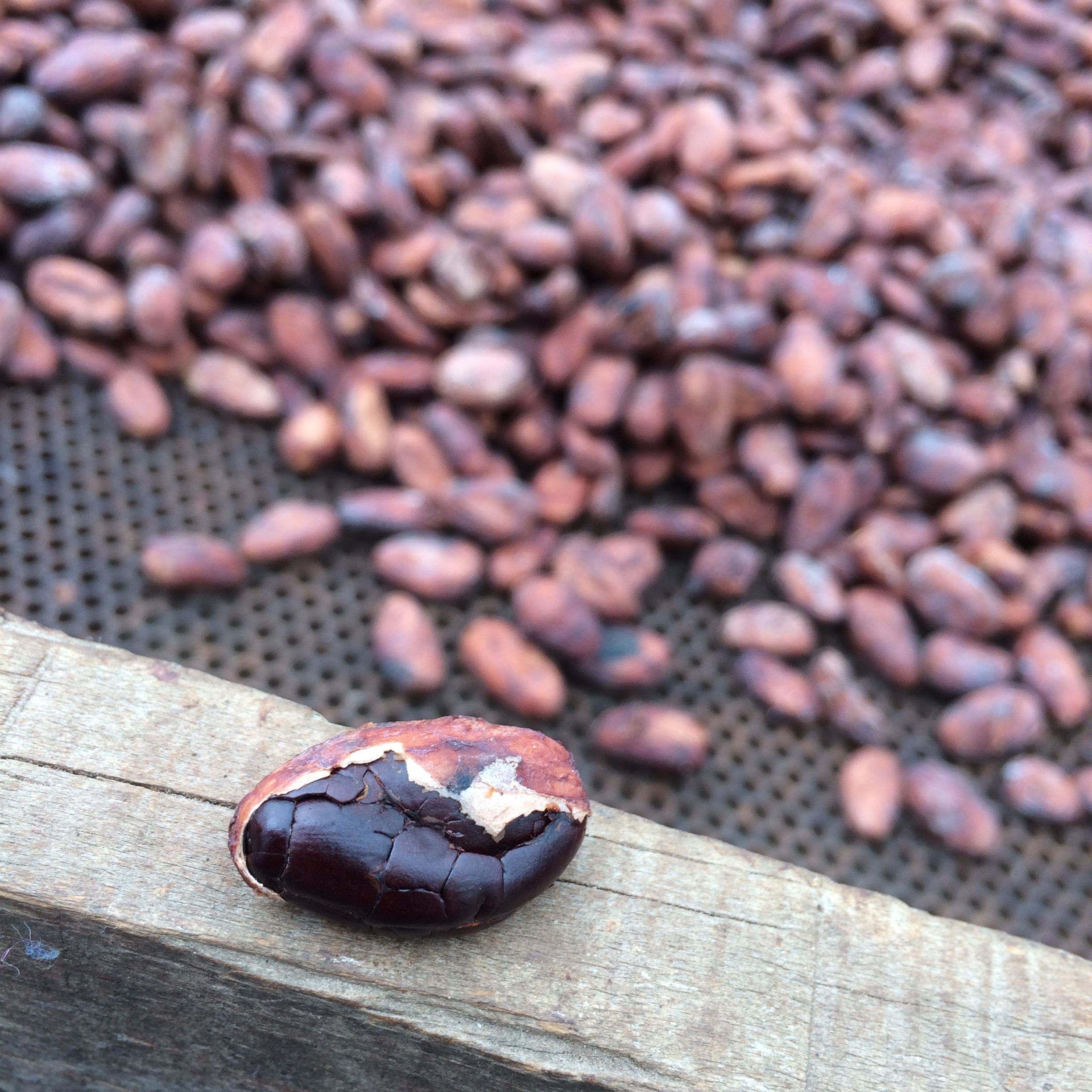 A half peeled cocoa bean after being dried for a week. This bean has finished drying as its moisture content is now down to 6-7%. The cocoa farmers can tell when the beans are ready by the sound they make when dropped. These beans are then bagged up and sent to the chocolate makers. The shells are removed as part of the bean to bar process.