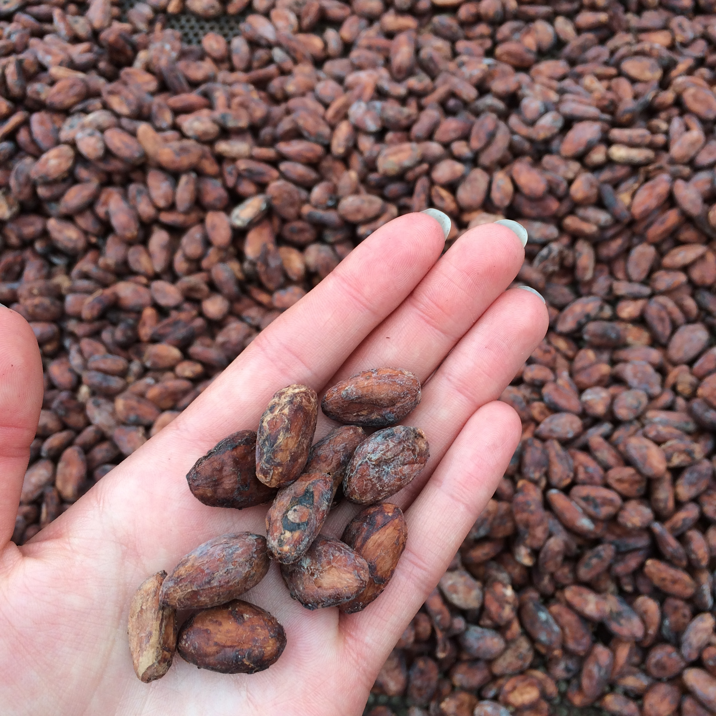 Dried cocoa beans.