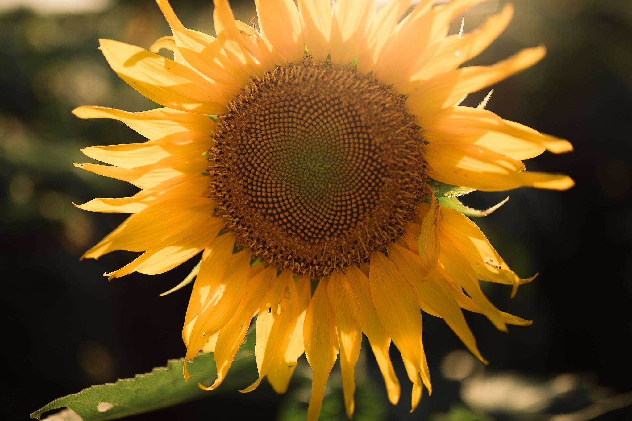 memphis-wedding-photographer-senior-portraits-shelby-farms-sunflower-field