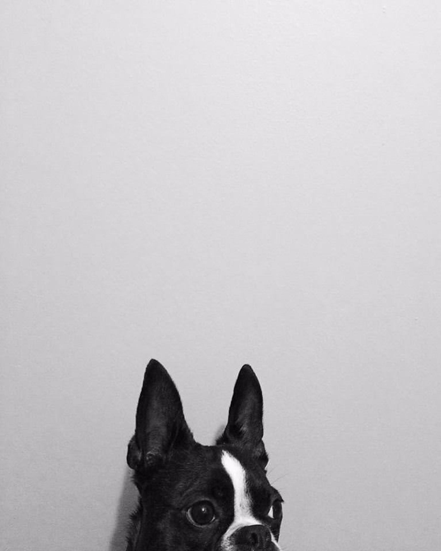 cassie-cook-photography-boston-terrier