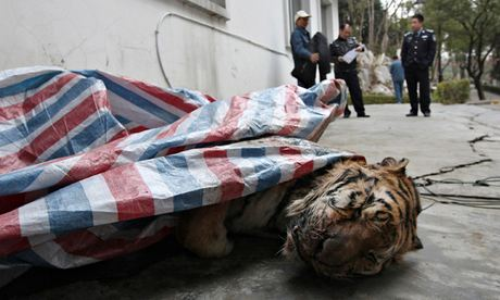 Tigers killed for power and pleasure in China. (Credit: China Daily Reuters)
