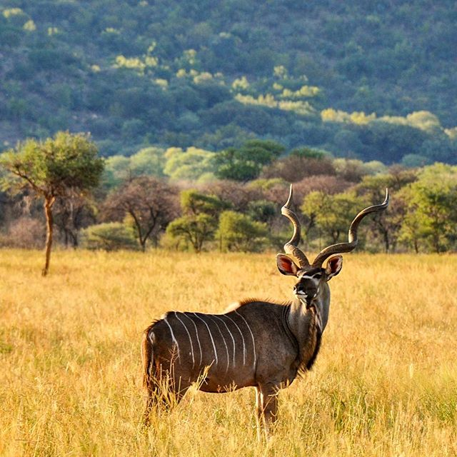 A gorgeous Kudu bull, poses beautifully for @mighty.kraus