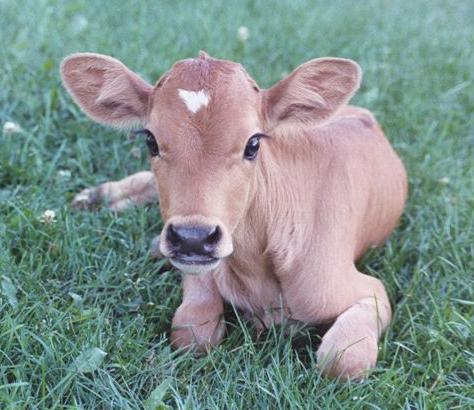 vegan cow