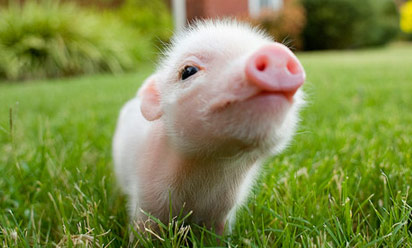 VEGAN FACT CUTE PIG