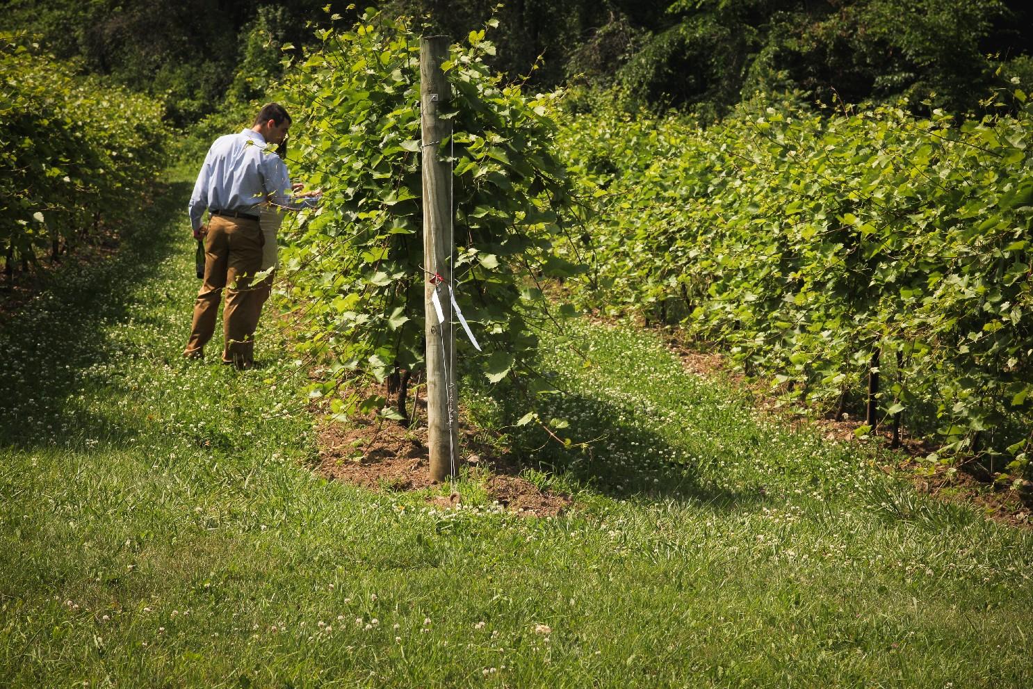 man walking through grapevines.jpg