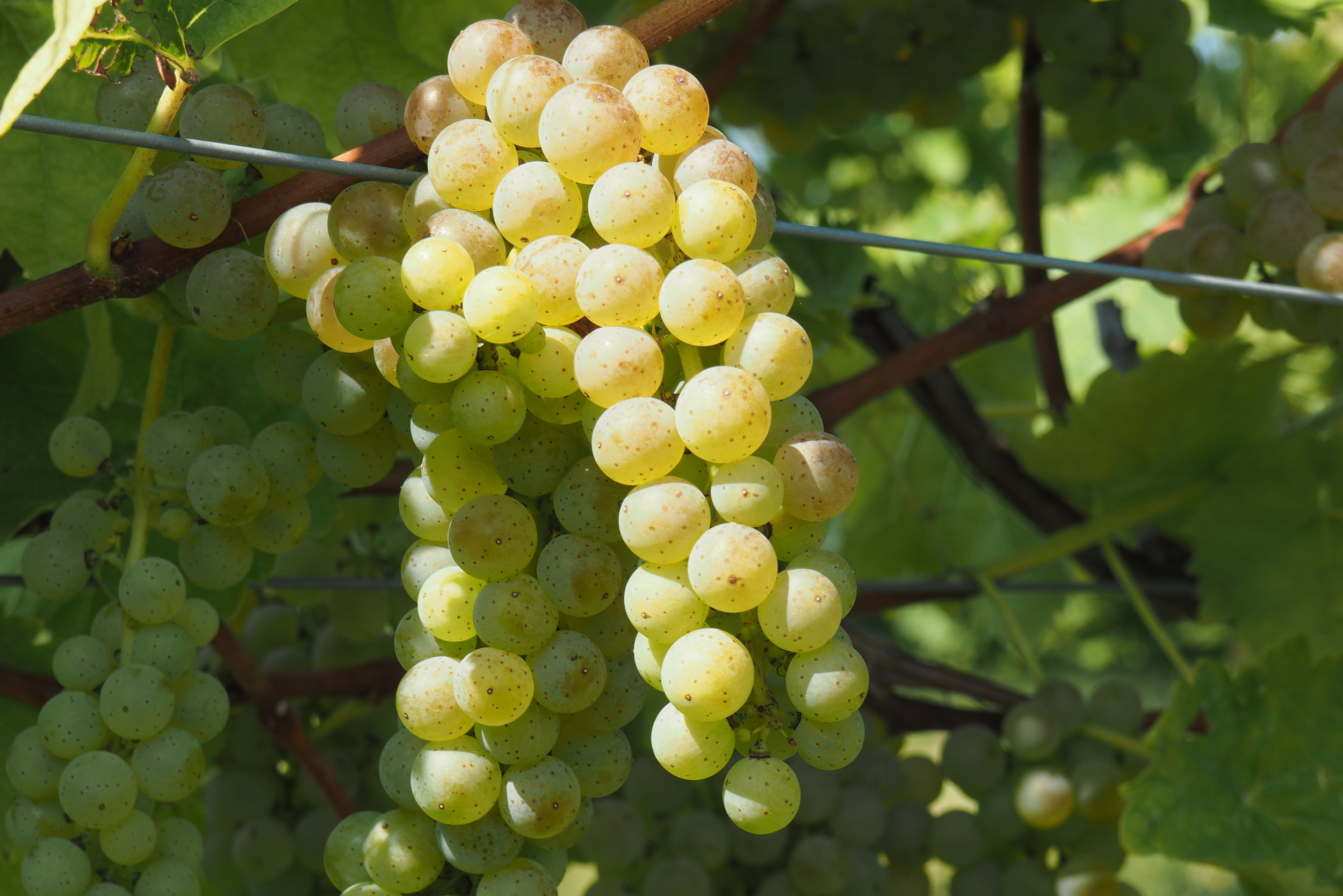 close up of grape clusters.jpg