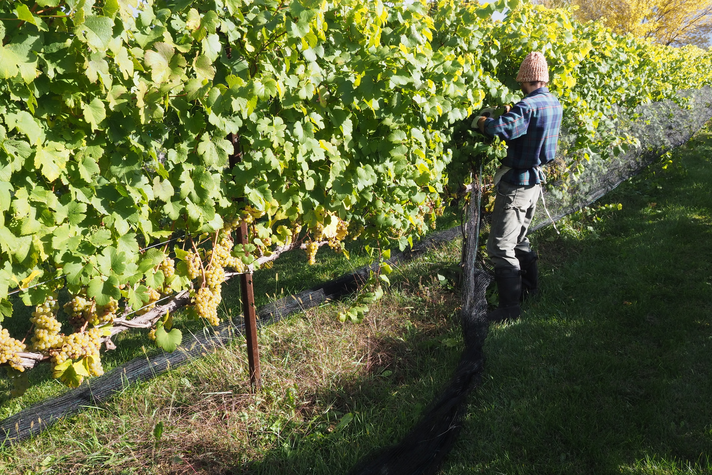 winemaker tending to grape vines.jpg