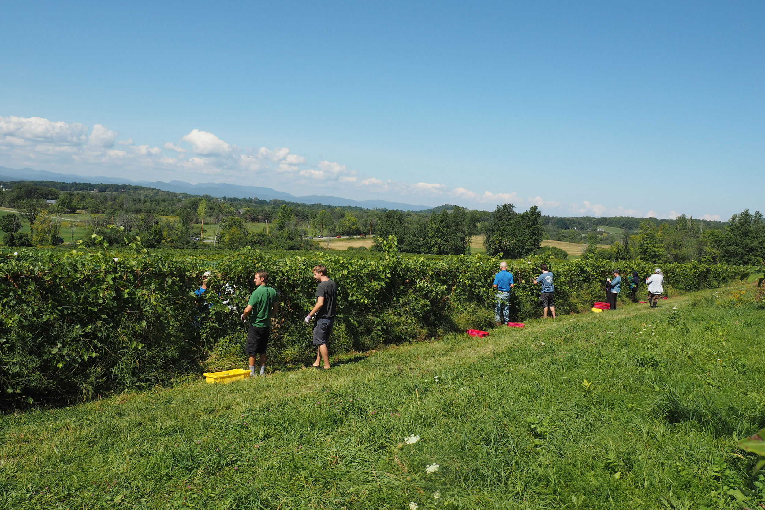 harvesting grapes on Mt. Philo Vineyard.jpg