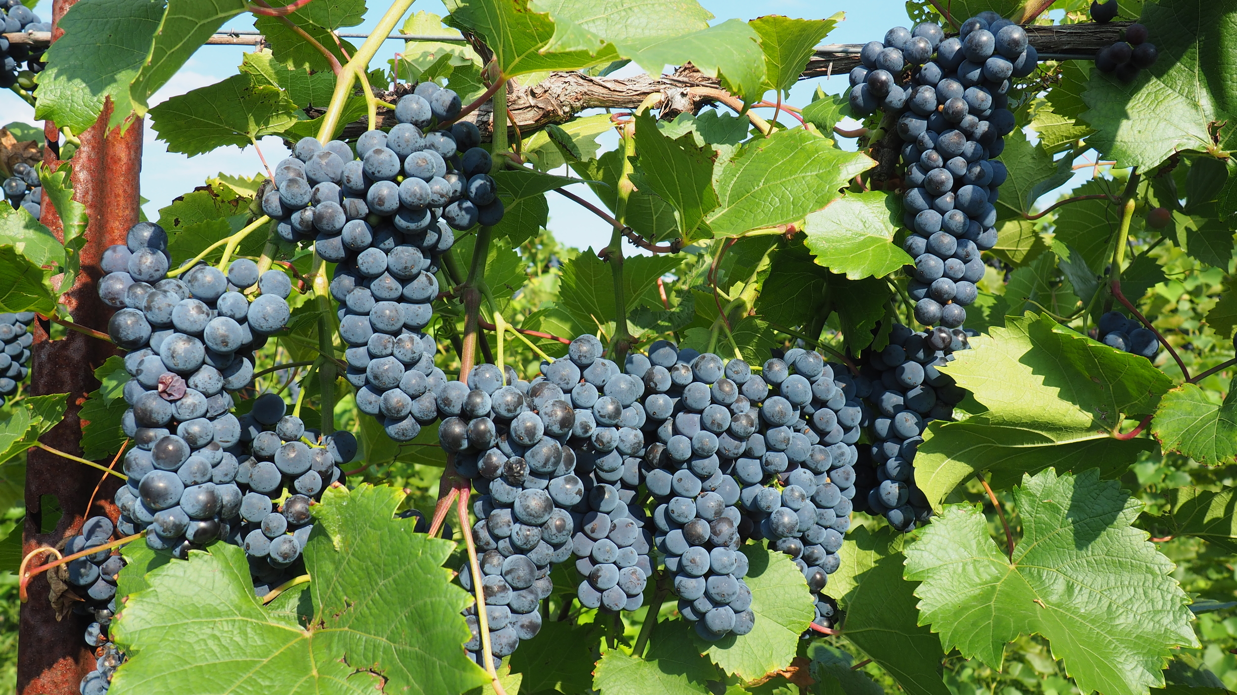 red grape clusters.jpg