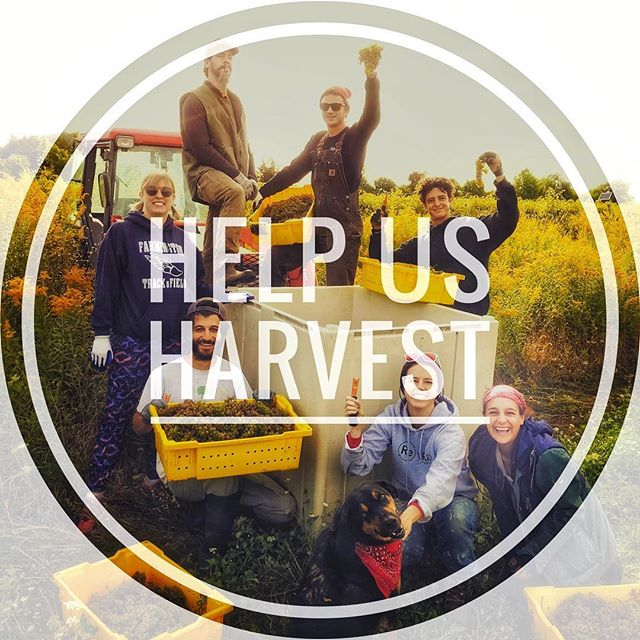 Help us harvest! We need hands at our Charlotte vineyard tomorrow at 9:30AM! 🍇 🍷 🌱  DM for details! We pay you and feed you. Think about it: fresh morning air, the grapes are good eating too, gets the blood pumping. Win win win! . . . . . . . . #vtjobs #vtlife #vermontmade #indefenseofhybrids #shelburnevineyard #harvest2018
