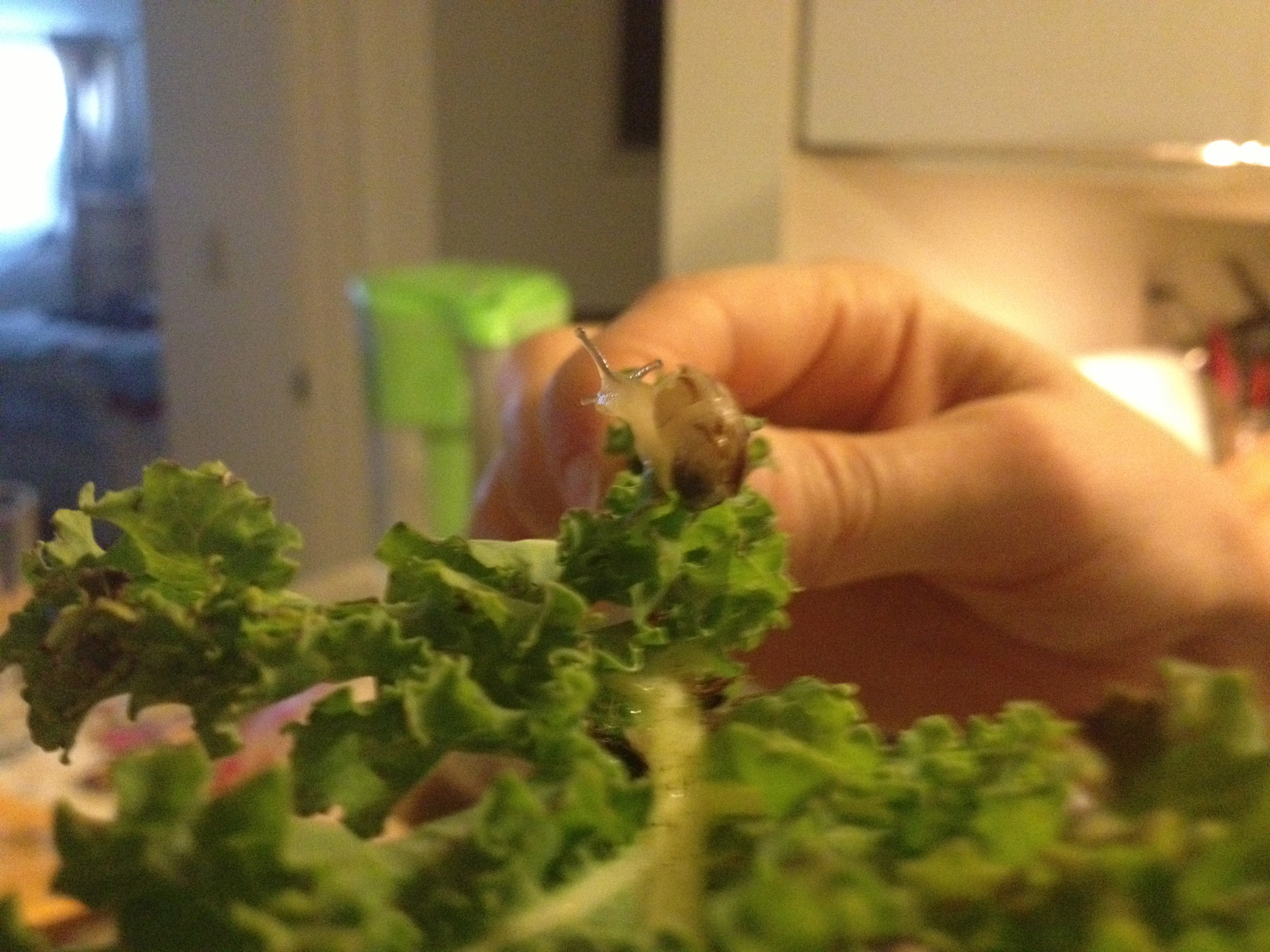 Kale in the kitchen, North Hollywood, CA
