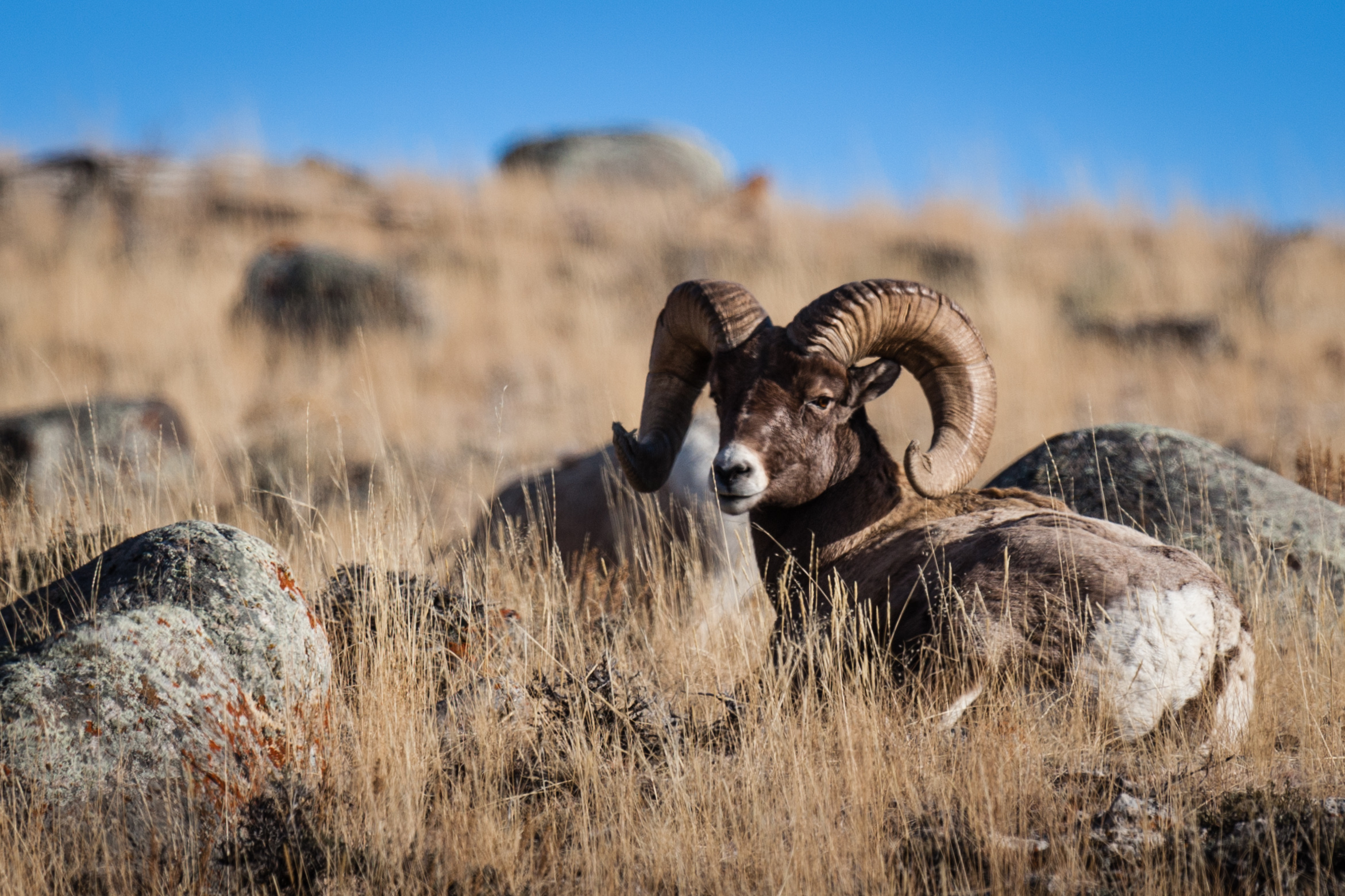Big Horn Sheep Above Gardiner