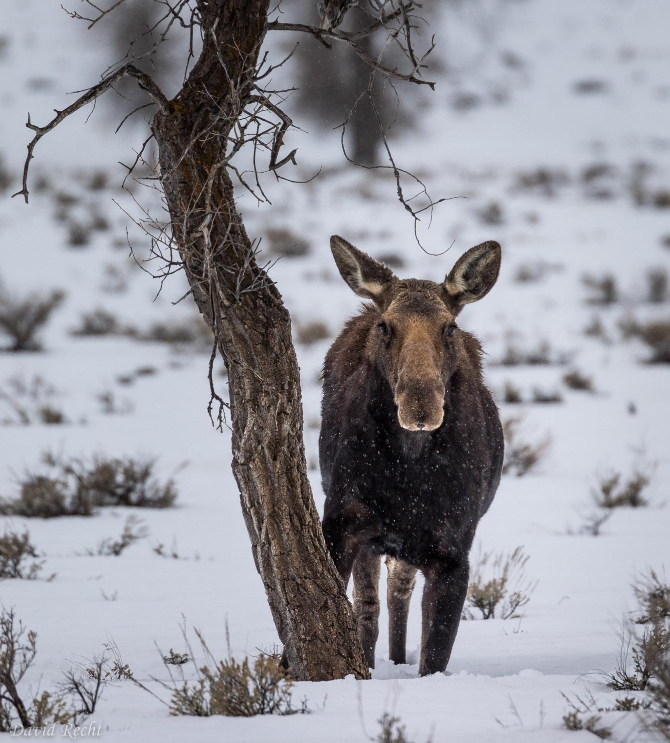 Moose Lock
