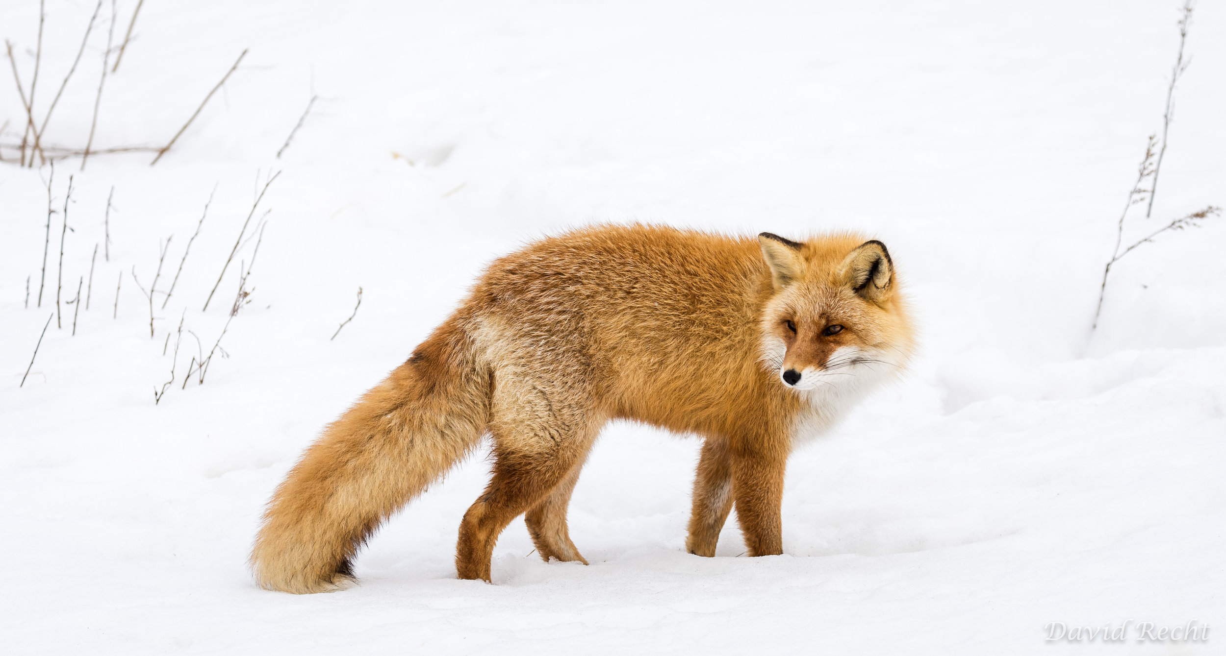 Foxy Look