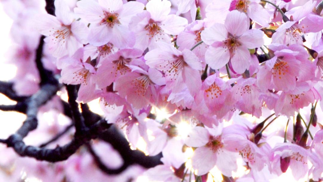 Yoshino Cherry Blossom Tree    Credit: Arbor Day Blog