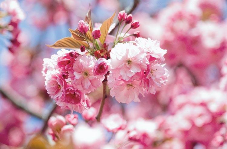 Kwanzan Cherry Blossom Tree    Credit: Gardenia Creating Gardens