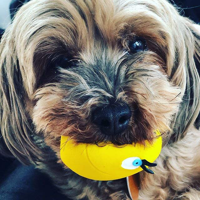 Rambo and his favorite toy. #yorkiepoo #yorkiepoosofinstagram #dogtoys #lancopets #naturalrubber #dogsarefamily