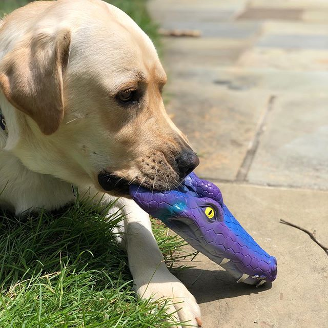 Happy Friday. Time to play. Lanco XL Alligators Rubber Dog Toys come in 3 vibrant colors: green, purple and yellow. Available exclusively @faire_wholesale.