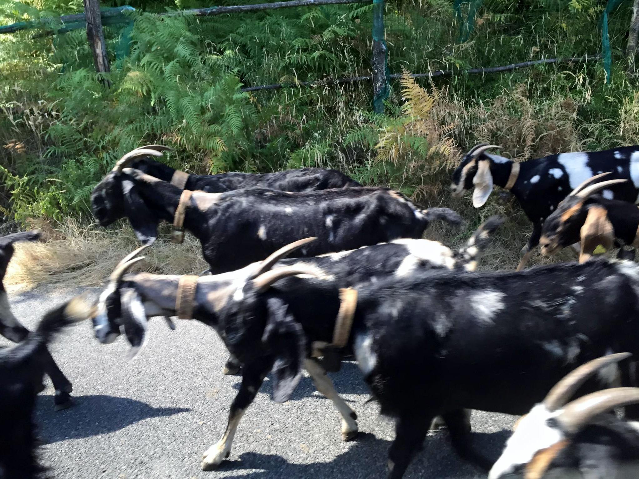 Goat herd in Ravello