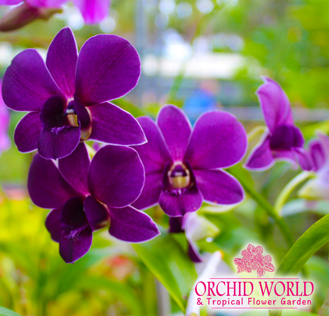Orchid Image with Logo.jpg