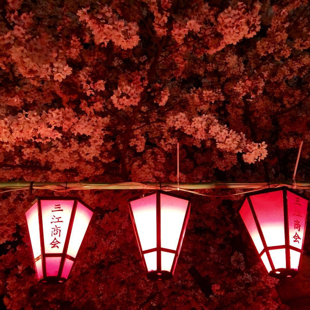 Lanterns lining the path beneath Sakura trees at a local Spring festival in Osaka. #osaka #japan #japaneselanterns #sakura #cherryblossomfestival #cherryblossoms #worldtraveler #travel #colors  (at Osaka, Japan)