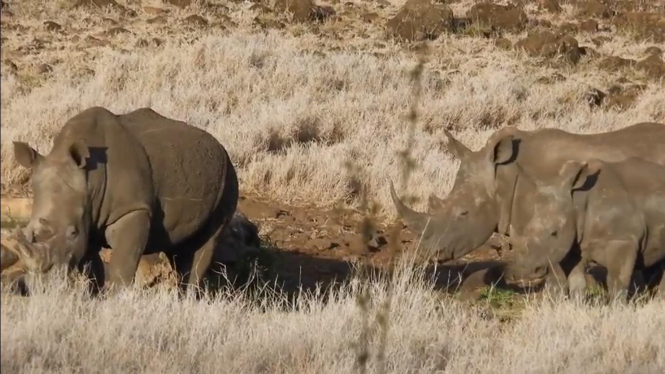 Sudan, Najin and Fatu – the last three Northern White Rhinos