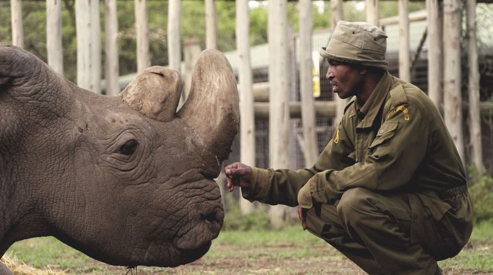 Sudan the last male northern white rhino.jpg