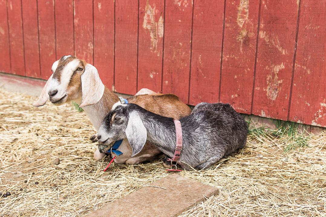 Dancing Goats Dairy