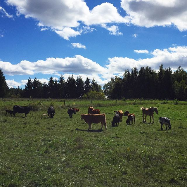 Yesterday I visited @heartwoodcidery and had a wonderful opportunity to learn about regenerative farming and the connection between everything on the farm. They have cows, pigs, chickens, bees and tons of fruit and nut trees. They also are a small batch cidery with some great flavours! If you have a chance to stop by I highly recommend you check them out!  #ontario #cider #farming #regenerativefarming #fall #cows #pigs #farmlife #erinontario #guelph #ruralromp #health #wellness #organic #grassfed #freerange