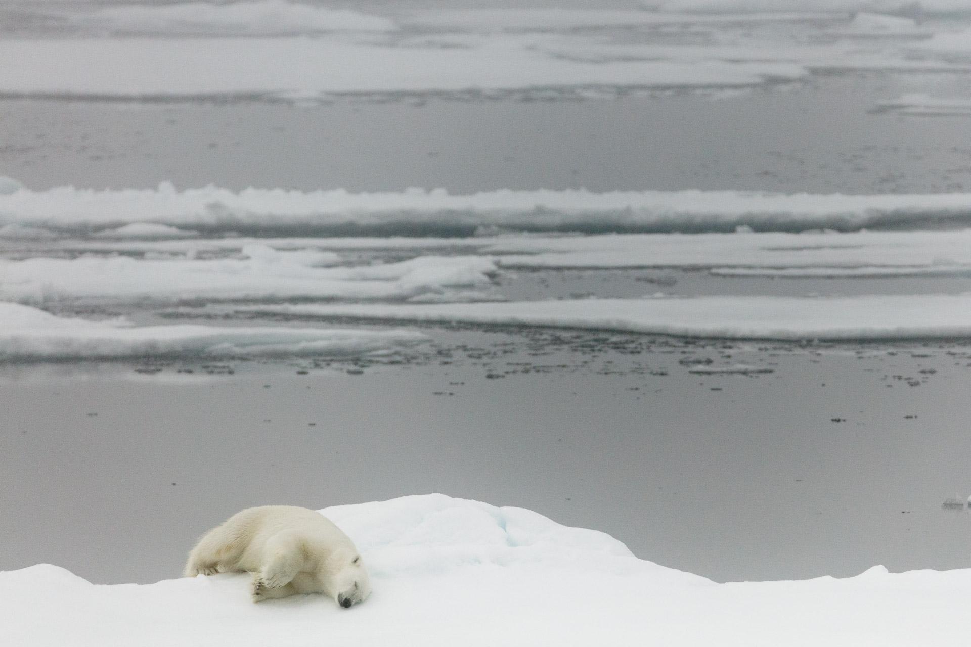 Adult polar bear sleeps on edge of Arctic Ocean sea ice