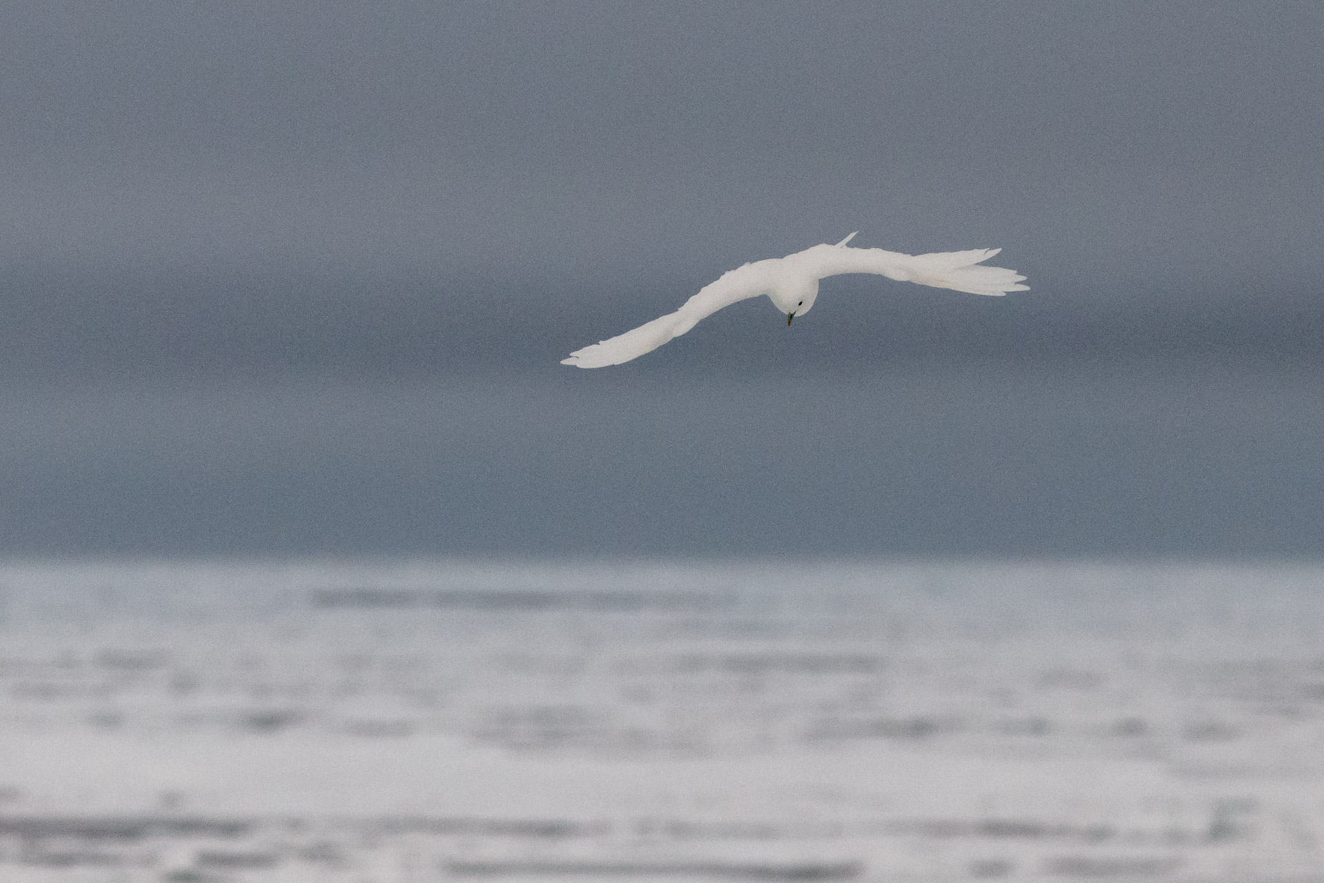 Ivory gull flying over sea ice floes on the Arctic Ocean
