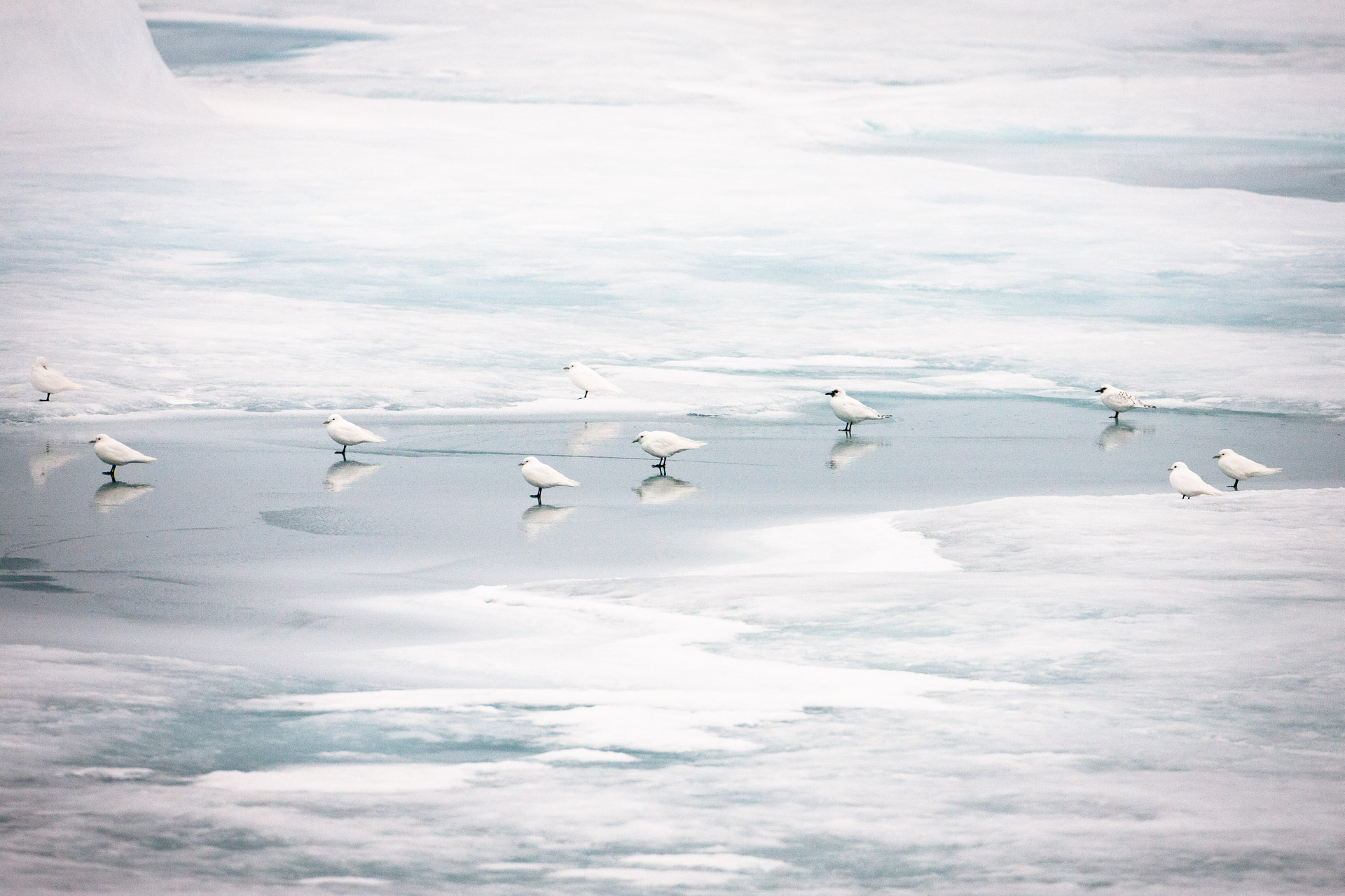 ivory gulls on a sea ice floe in the Arctic