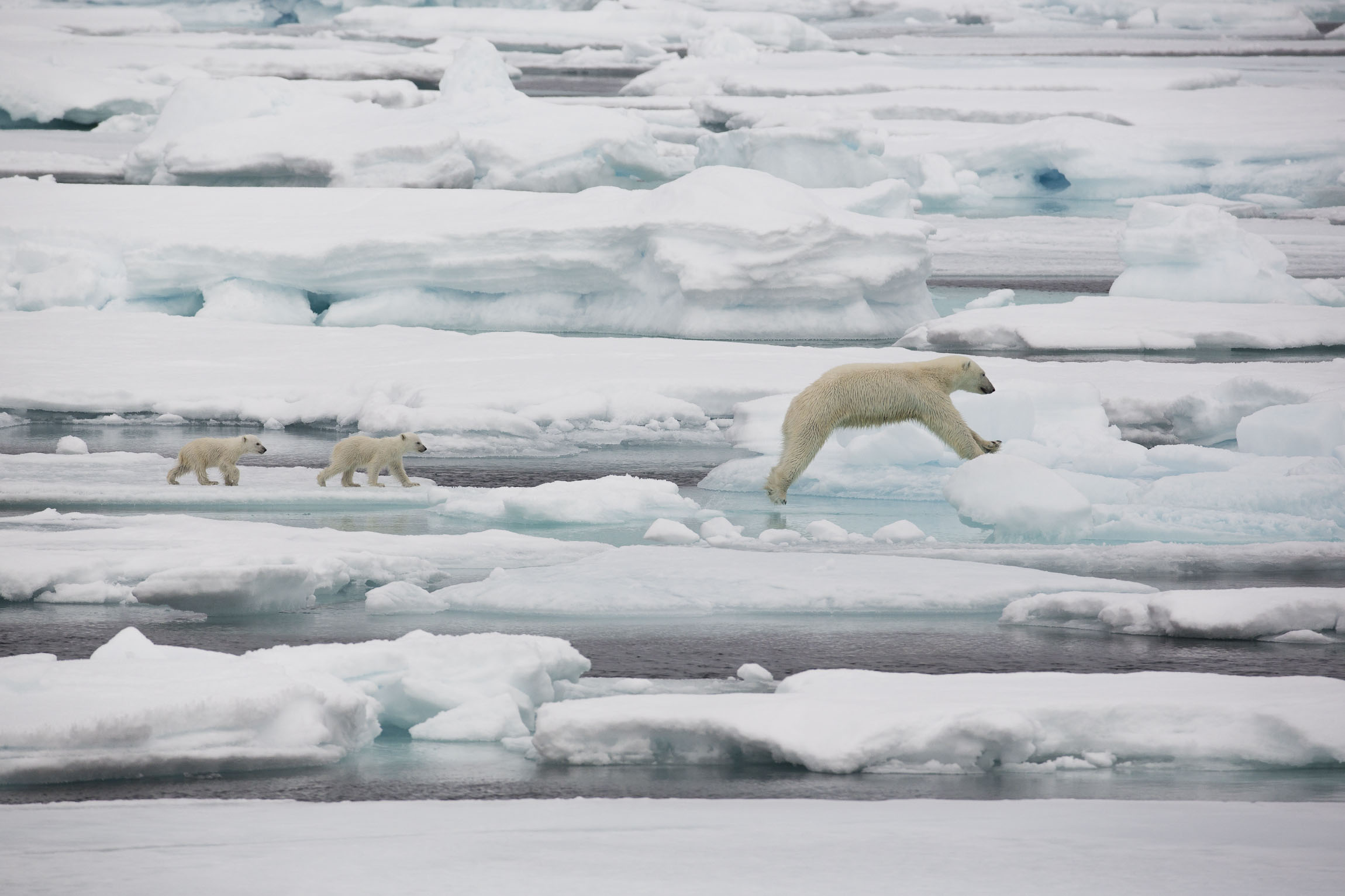 A mother polar bear jumping ice floes followed by two cubs