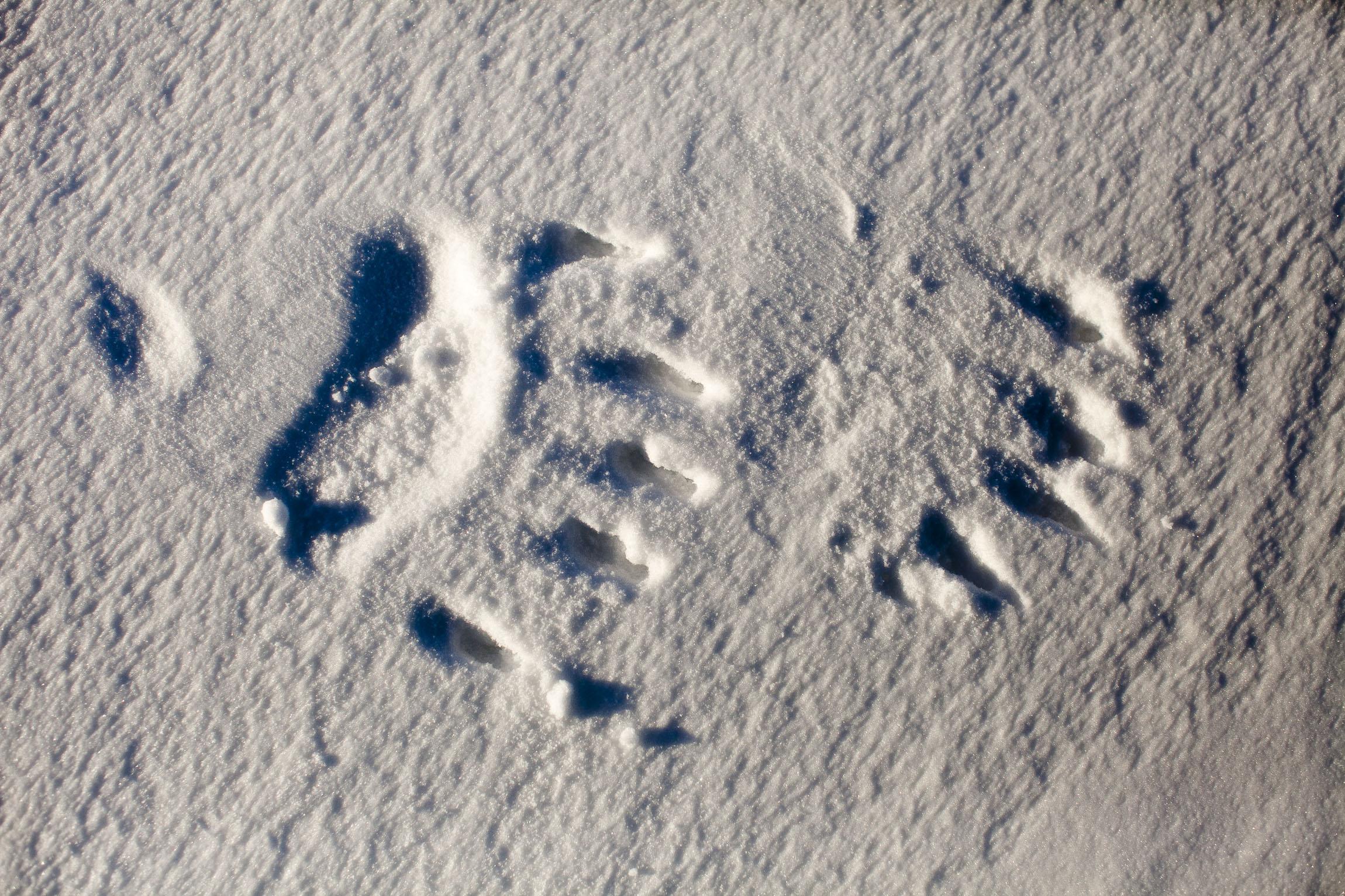 The paw print of a polar bear on snow