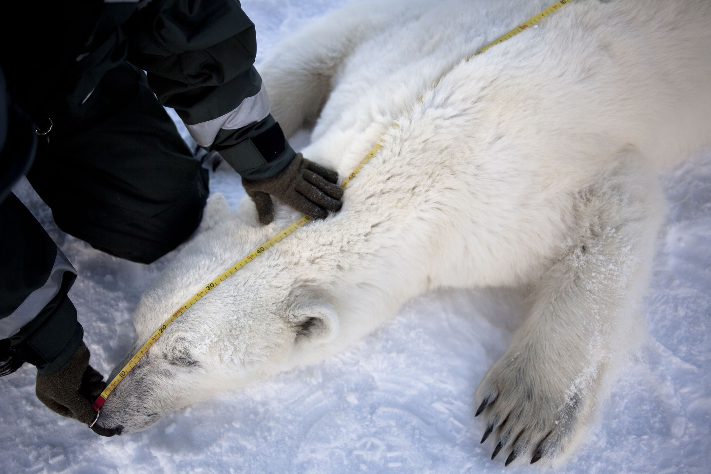 A scientist measures the length of an adult polar bear