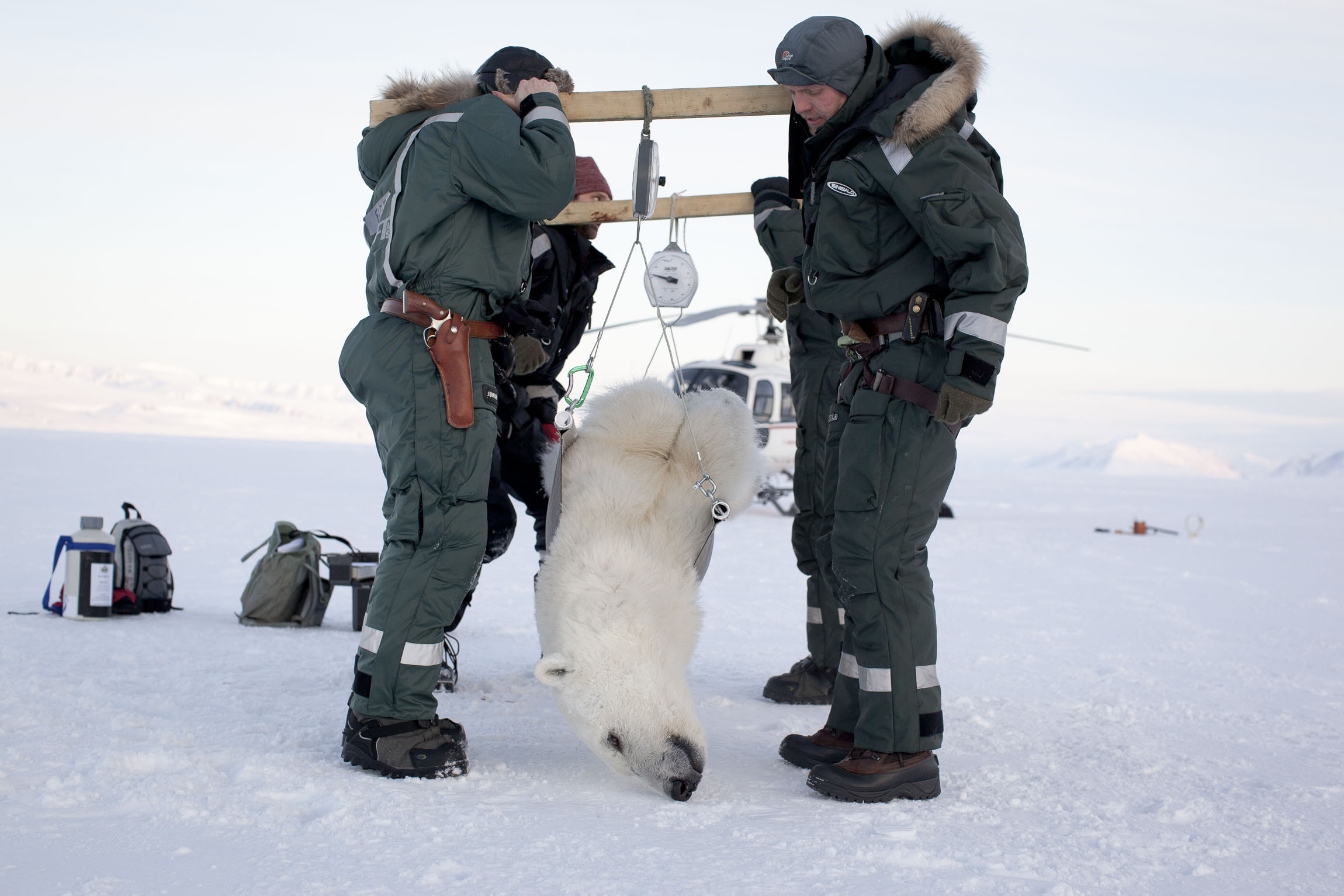 A tranquilised polar bear is weighed for scientific research