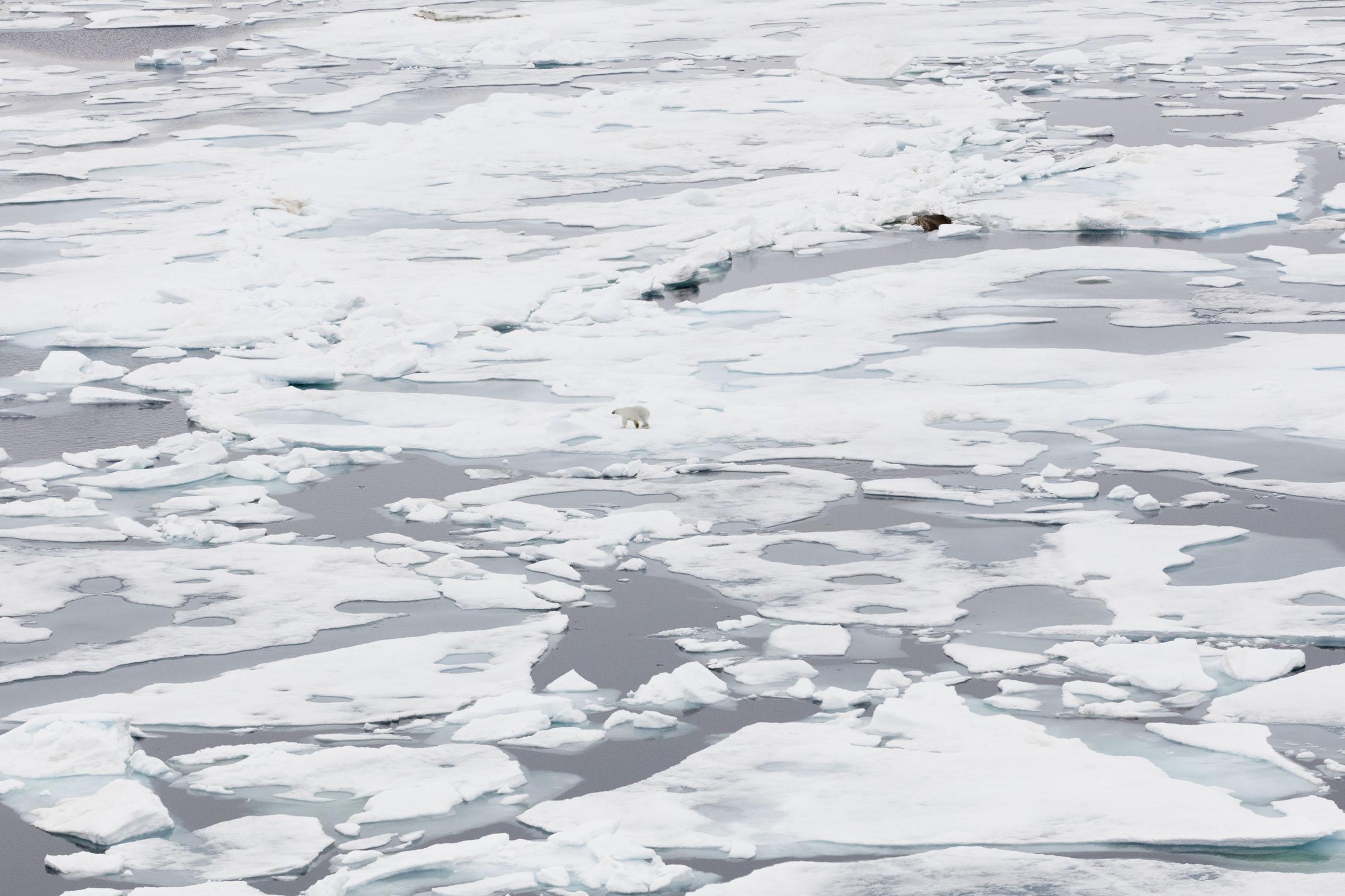 A solitary polar bear walks across Arctic sea ice