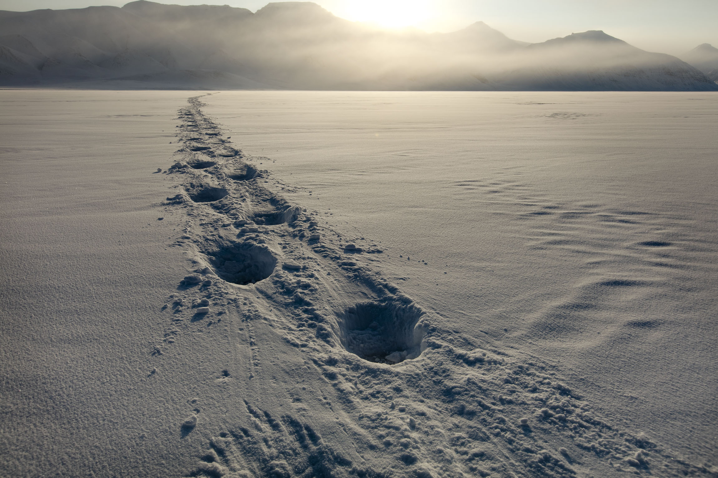 Deep paw prints in snow show the track of a polar bear