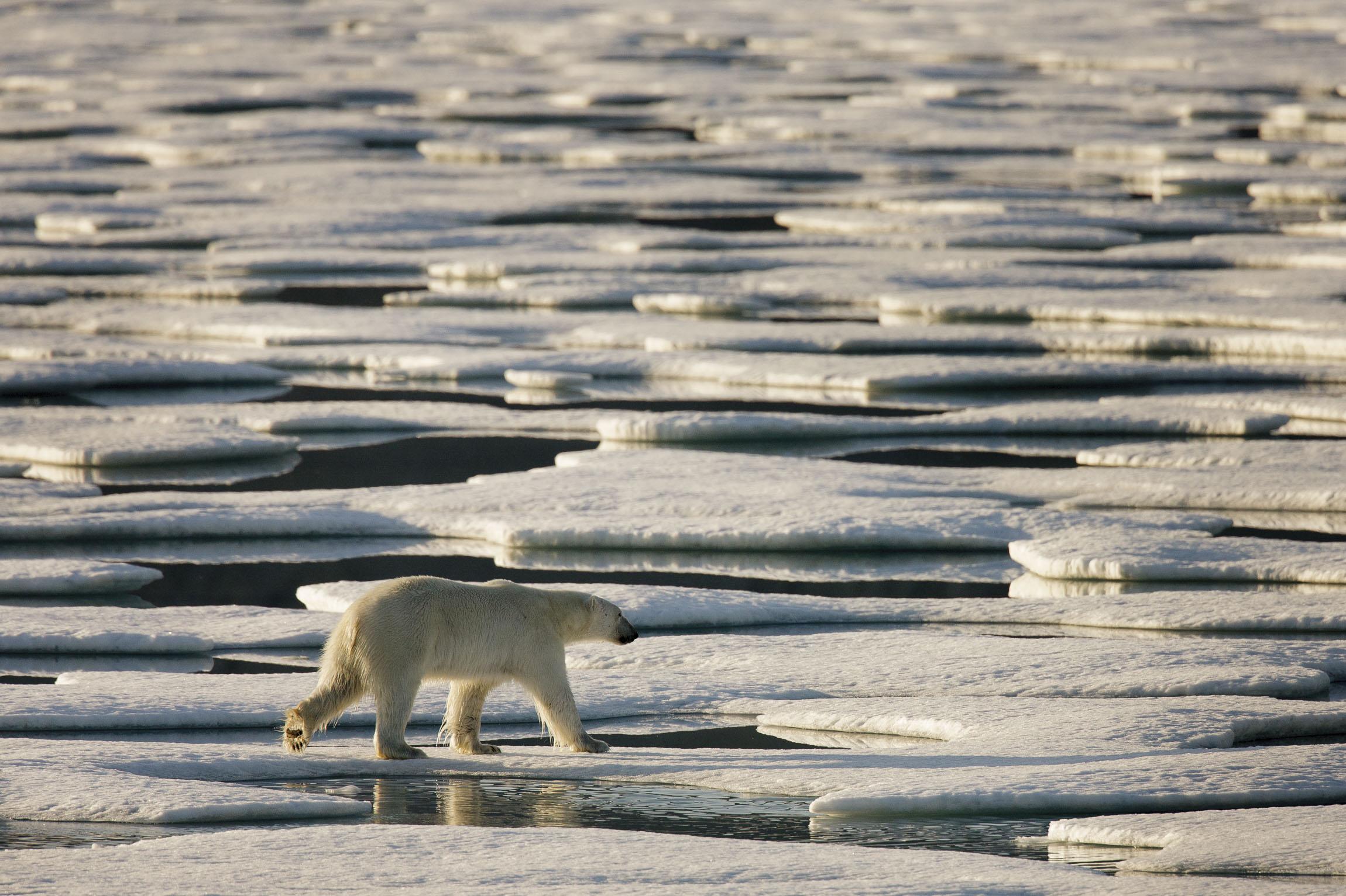 A polar bear walks around floes of sea ice
