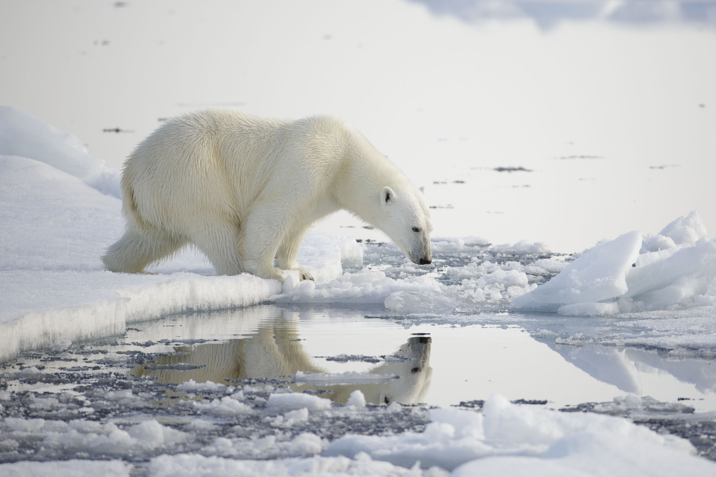 A polar bear sees its reflection in the water